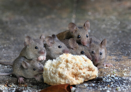 Los parásitos más comunes en roedores