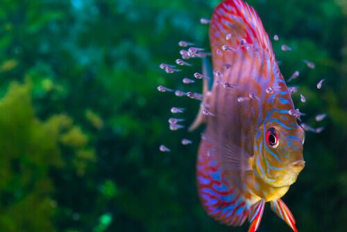 Pez disco (Symphysodon discus)