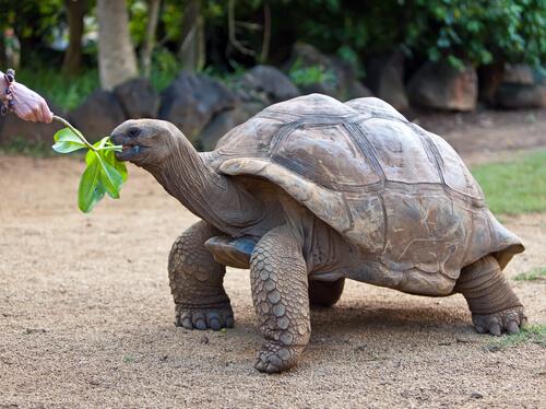 Qué comen las tortugas gigantes de las islas Galápagos