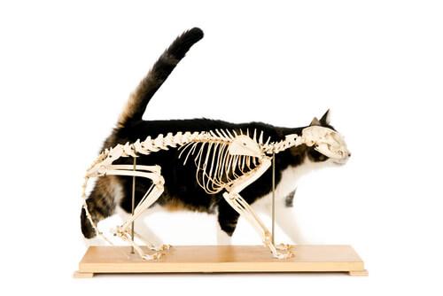 Quiropraxia en gatos