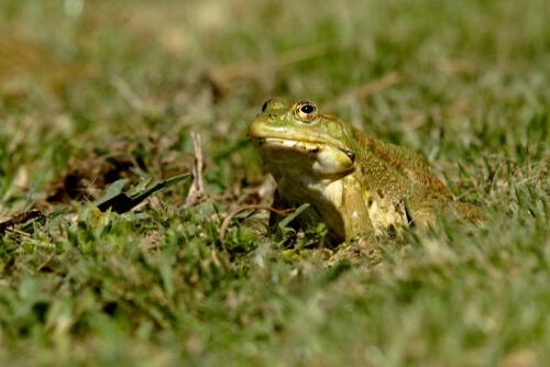 Quitridiomicosis en anfibios