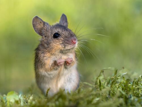 Ratón cantor de Alston