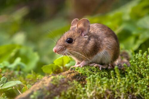Las conversaciones de los ratones cantores