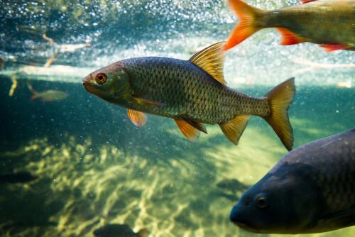 La reproducción de la carpa y los peces de estanque
