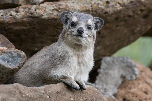 Los rock hyrax de roca son los acróbatas de patas ágiles