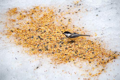Aprende sobre las diferentes semillas para aves