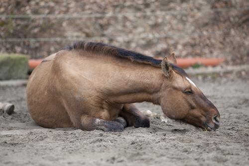 ¿Cuáles son los diferentes cólicos del caballo?