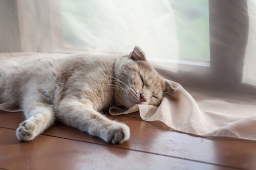 Síntomas de la demencia senil en gatos