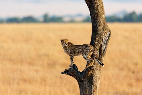 Situación actual del guepardo