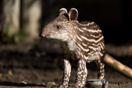 Tapir sudamericano (Tapirus terrestris)