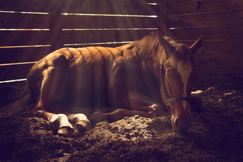 A horse with colic might lie down or roll.
