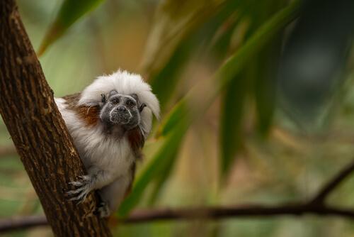 La conservación del tití cabeciblanco - My Animals