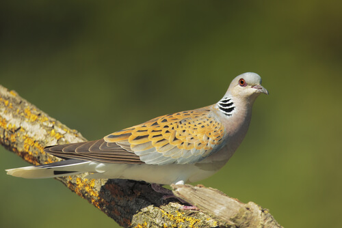 The European turtle dove is the smallest and rarest of all the doves and pigeons in Spain.