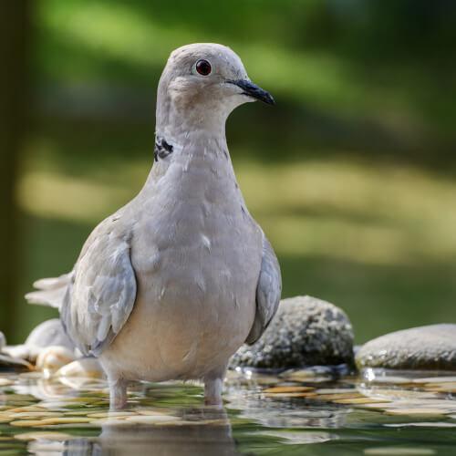 The Eurasian collared dove.