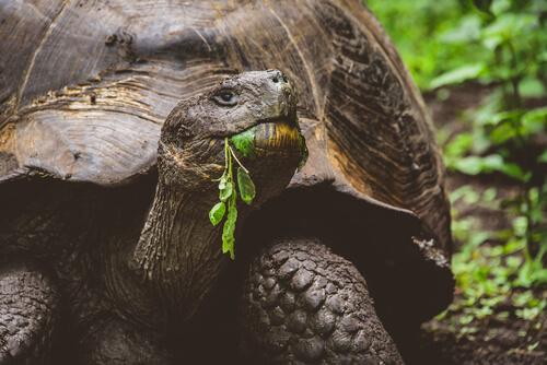 La tortuga gigante de las islas Galápagos