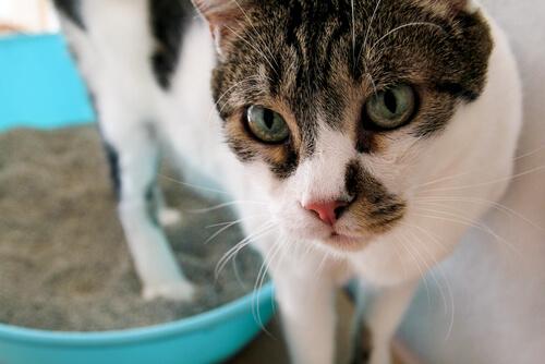 ¿Cuáles son los trastornos urinarios en los gatos?