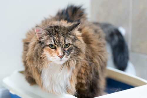Trastornos urinarios en gatos: síntomas