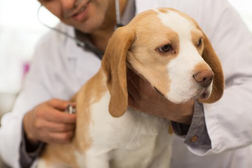 Tratamiento para los gusanos en perros