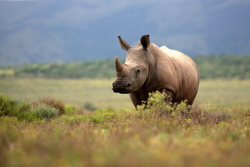 Valor de los cuernos de rinoceronte