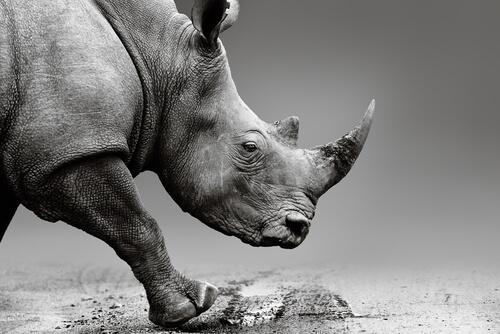 Inyectan veneno en los cuernos de rinoceronte