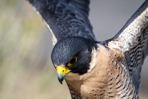 Visión del halcón