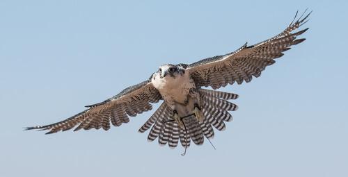 El halcón, un ave imponente
