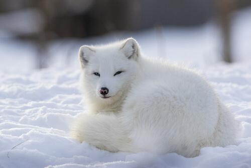 El zorro ártico: un animal social y territorial