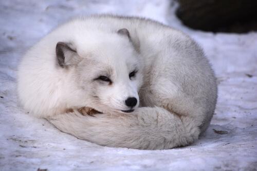 Zorro ártico en su hábitat