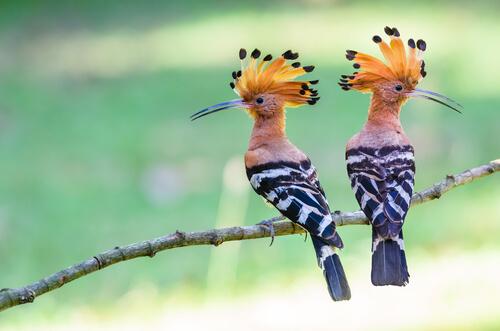Abubilla: características, comportamiento y hábitat