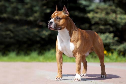 American staffordshire terrier: características