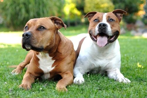American staffordshire terrier: comportamiento