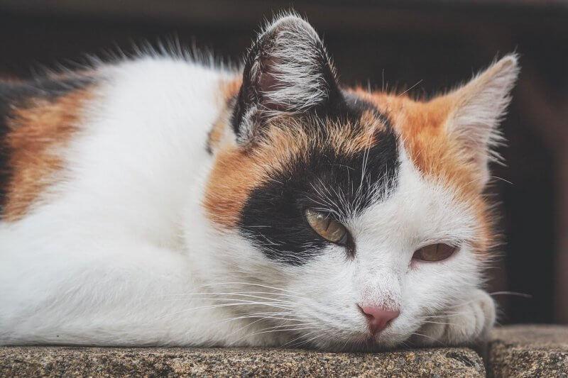 anemia en gatos por parasitos