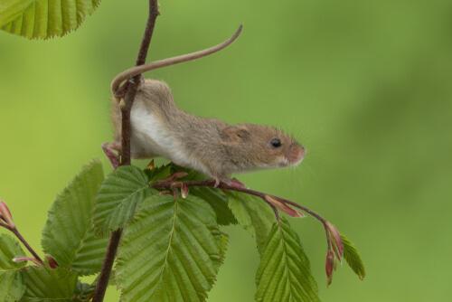 Animales con cola prensil: ratón espiguero