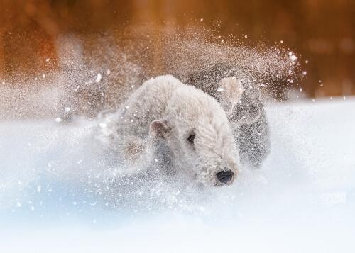 Bedlington terrier: carácter