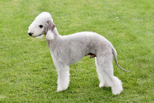 Bedlington terrier: características y carácter