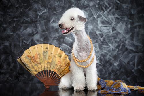 Bedlington terrier: perro oveja