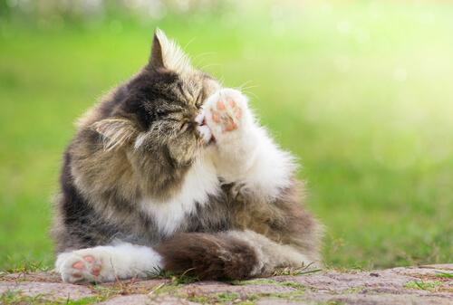 Los gatos también pueden contraer alergias