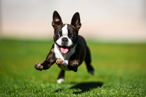 Boston terrier: alimentación