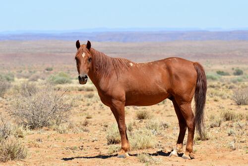 El caballo en África