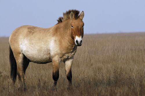 Caballo mongol: características