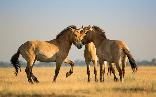 El caballo mongol: comportamiento y cría