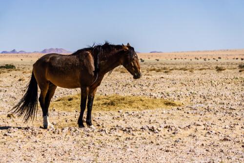 Caballo de Namibia