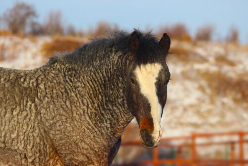 El caballo rizado: tan misterioso como hipoalergénico