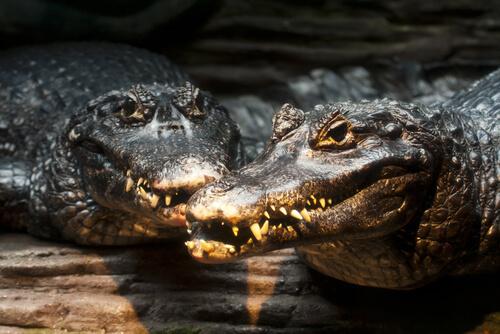 El caimán negro: información y características