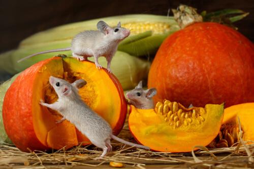 Calabaza para roedores