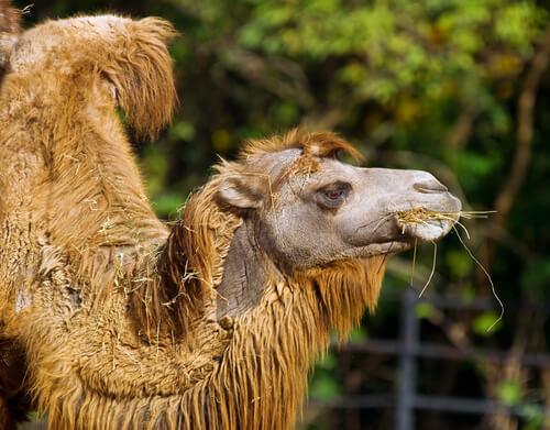 Camello bactriano: alimentación