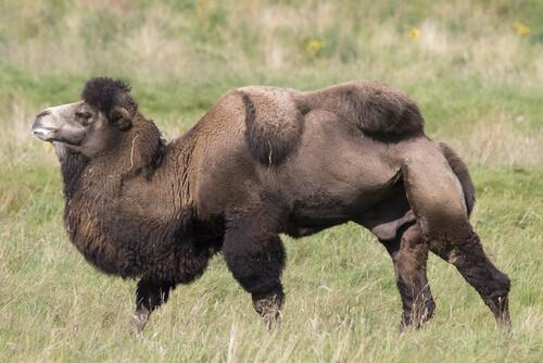 Camello bactriano: alimentación y hábitat