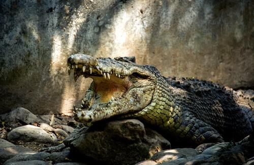 5 virus que afectan a los cocodrilos