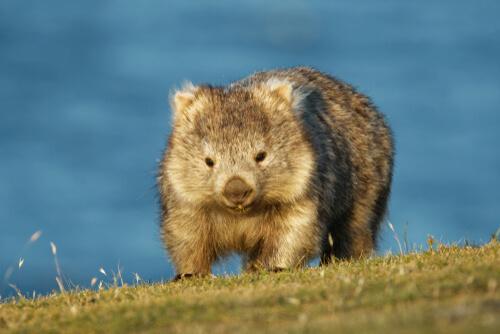 Curiosidades de los wombats