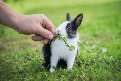 Dieta de un conejo enano bebé